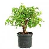 Pré-bonsai 7 anos Morus sp.