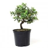 Pré-bonsai 7 anos Quercus suber