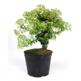Pré-bonsai 8 anos Pyracantha coccinea ZP-b2
