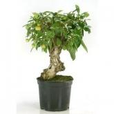 Pré-bonsai 12 anos Malus sp. ZP-E