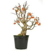 Pré-bonsai 18 anos Malus sp.