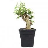 Pré-bonsai 19 anos Malus sp.