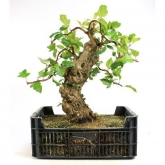 Pré-bonsai 22 anos Malus sp. ZP-E