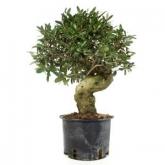 Pré-bonsai 15 anos Olea europaea sylvestris