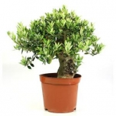 Pré-bonsai 18 anos Olea europaea sylvestris