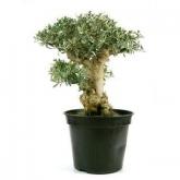 Pré-bonsai 22 anos Olea europaea
