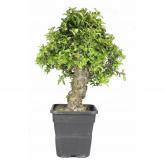 Pré-bonsai 17 anos Pyracantha coccinea ZP-E