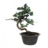 Pré-bonsai 18 anos Juniperus chinensis
