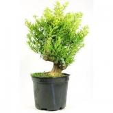 Pré-bonsai 17 anos Citrus sp. ZP-E