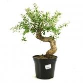 Pré-bonsai Quercus suber 20 anos