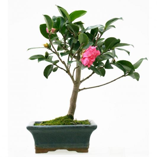 Camellia sp. 7 ans