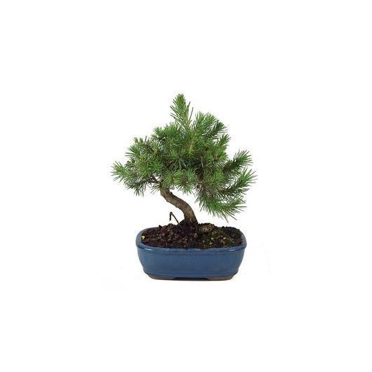 Pinus Halepensis 7 años