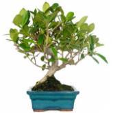 Ficus panda 8 anni
