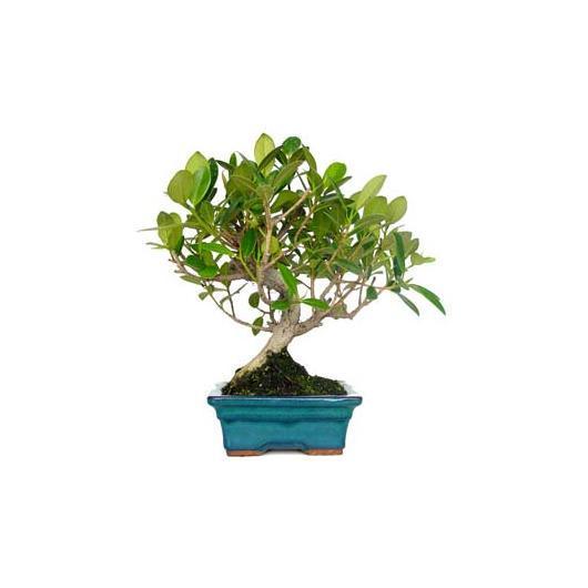 Ficus panda 8 años