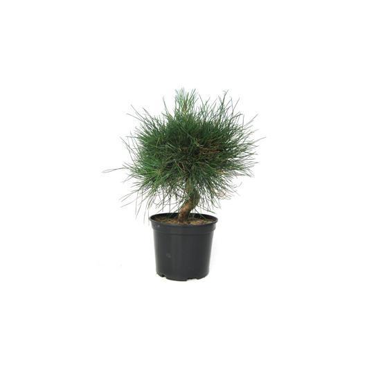 Pré-bonsaï Pinus thunbergii (Pin noir du Japon) 8 ans