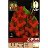 Bulbo Gladiolo Rojo terciopelo 10ud