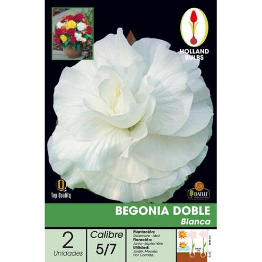 Bulbo di Begonia Doppia Bianca 2 unità
