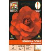 Bolbo Begonia dupla vermelho escuro 2 ud