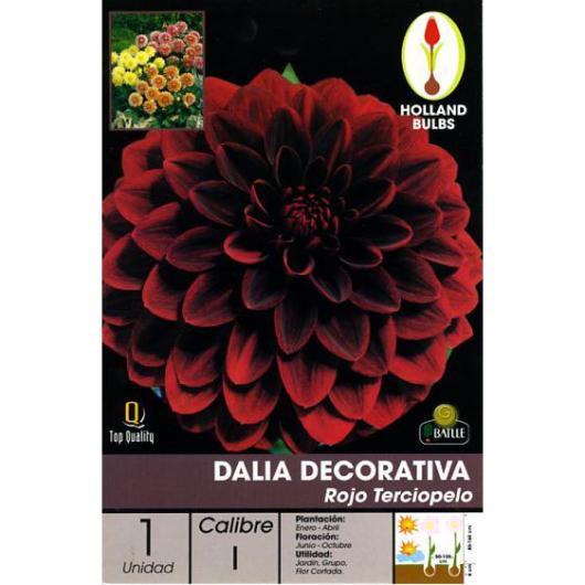 Bulbe de dahlia décoratif rouge velours 1 pc