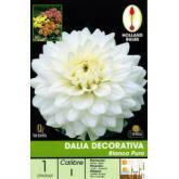 Bolbo Dalia decorativa branco puro, 1 ud