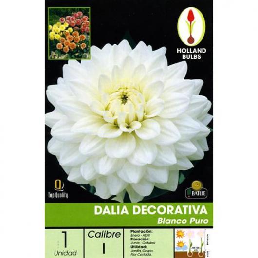 Bulbo Dalia Decorativa Blanco puro,1ud