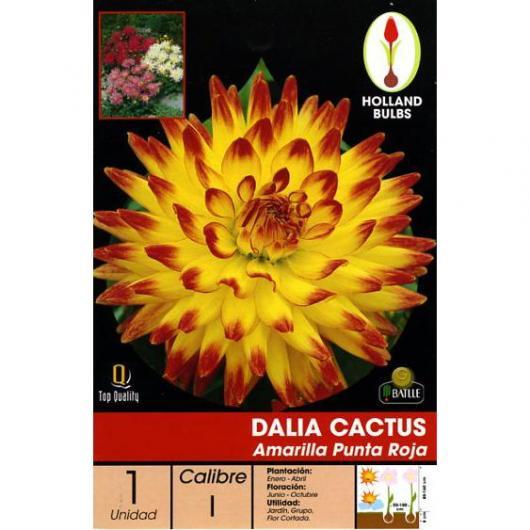BUlbo di Dalia Cactus Gialla punte Rosse, 1 unità