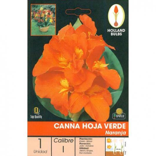 Bulbo di Canna Arancione Foglia Verde 1 unità