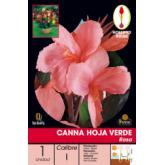 Bolbo Canna rosa com folhas verdes, 1 ud