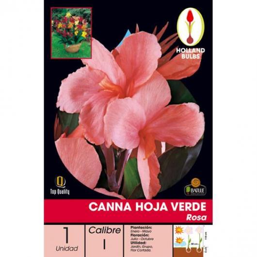 Bulbe canna rose à feuilles vertes, 1 pièce