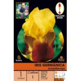 """Bulbe d""""iris germanique jaune-rouge 1 pièce"""