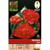 Bolbo Peonia vermelha 1 ud