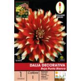 Bolbo Dahlia Maroon decorativa dicas Blanca, 1pc