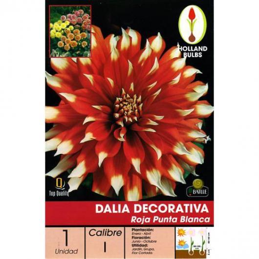 Bulbo Dalia Decorativa Granate Puntas Blanca,1ud