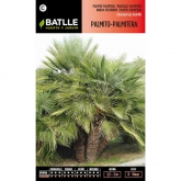 Graines de palmier nain