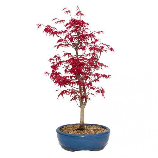 Acer palmatum deshojo 12 anni ACERO