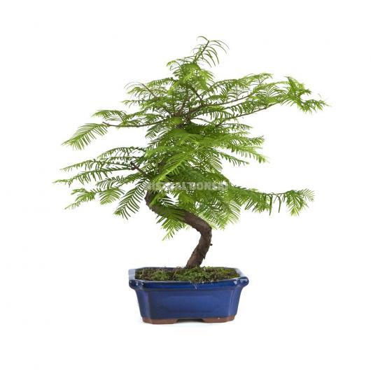 Metasequoia 9 anni (bosco)