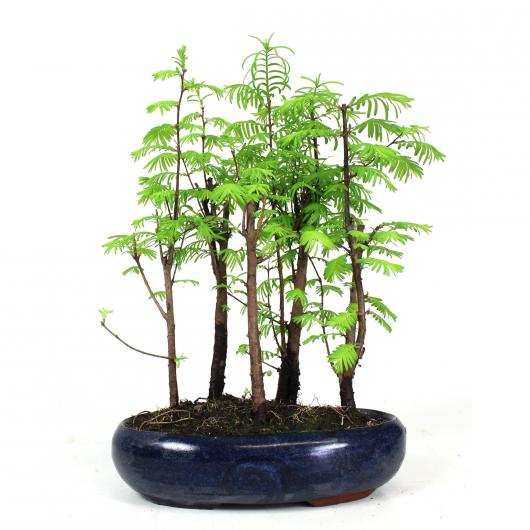Metasequoia sp. 9 años (bosque)