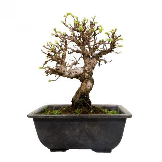Ulmus parvifolia nano 9 anni OLMO