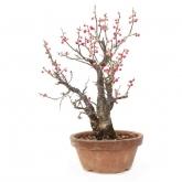 Prunus mume 22 anos