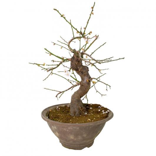 Prunus mume 22 anni