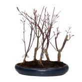 Acer palmatum deshojo 12 años bosque ARCE