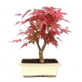 Acer palmatum desfolho 9 anos BORDO