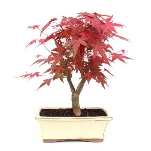 Acer palmatum deshojo 9 años ARCE