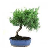 Juniperus chinensis 15 anos