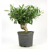 Pré-bonsai Olea europaea 8 anos