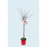 Amendoeira Ferragnés ecológico