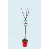 Cerejeira Garnet Ecológica