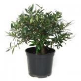 Pré-bonsai Olea europaea 7 anos