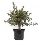 Pré-bonsai Quercus suber 9 anos SOBREIRO