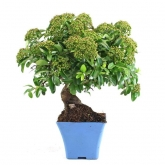 Pré-bonsai Pyracantha sp. 14 anos